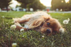 Cavalier King Charles Spaniel resting in the grass